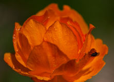 L'orange fleurit le Trollius Asiaticus Photo stock