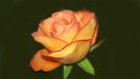 L'orange fraîche parfaite s'est levée Image libre de droits