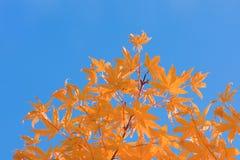 L'orange laisse à automne de ciel bleu le contraste complémentaire images libres de droits