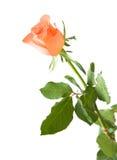 L'orange pâle s'est levée Images libres de droits
