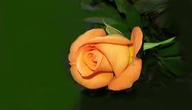 L'orange parfaite s'est levée Images libres de droits