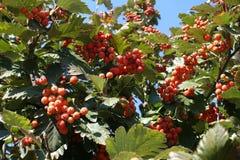 L'orange rougeâtre porte des fruits dans le leafage de l'aria de Sorbus photographie stock