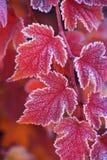 L'orange rouge a givré des feuilles de diabolo d'opulifolius de Physocarpus Photos libres de droits