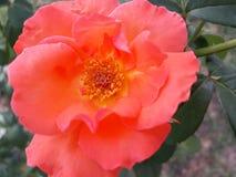 L'orange s'est levée beauté de nature photographie stock libre de droits