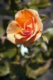 L'orange s'est levée dans le jardin Photos stock