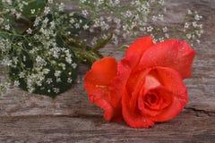 L'orange s'est levée dans un cadre des fleurs de gypsophila Images libres de droits