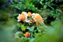L'orange s'est levée fleurissant dans l'arrière-cour Image libre de droits