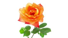 L'orange s'est levée timelapse de floraison de fleur