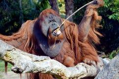 L'orangutan fotografia stock