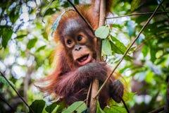 L'orangutan del bambino più sveglio del mondo appende con la bocca aperta immagine stock libera da diritti