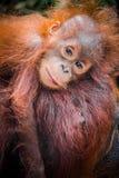 L'orangutan del bambino più sveglio del mondo si rannicchia con la mamma nel Borneo fotografia stock