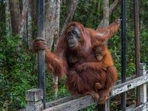 L'orangutan di mamma con il suo silit del bambino su un recinto di legno e tiene il supporto di entrambe le mani (Indonesia) Immagini Stock
