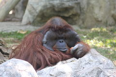 L'orangutan mi ha preso che guardo Immagini Stock