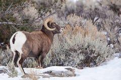Maschio delle pecore del Big Horn Immagini Stock Libere da Diritti
