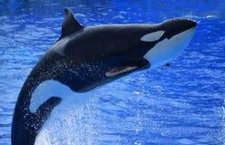 L'orca salta Fotografie Stock Libere da Diritti