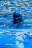 L'orcaella brevirostris sveglio del delfino di Irrawaddy sta galleggiando in Th fotografia stock libera da diritti