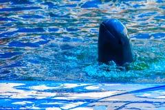 L'orcaella brevirostris sveglio del delfino di Irrawaddy sta galleggiando in Th immagine stock