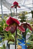 L'orchidée asiatique d'espèces rares en Chiang Mai, Thaïlande du nord Images stock