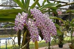 L'orchidée asiatique d'espèces rares en Chiang Mai, Thaïlande du nord Photo libre de droits