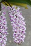 L'orchidée asiatique d'espèces rares en Chiang Mai, Thaïlande du nord Photos libres de droits