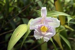 L'orchidée dans le rose jaunâtre modifie la tonalité sur le fond vert Photos stock