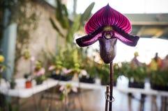 L'orchidée de pantoufle de Lady's, orchidée de Paphiopedilum, a accroché, Images libres de droits