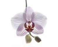 L'orchidée de Phalaenopsis est comme un oiseau photo libre de droits