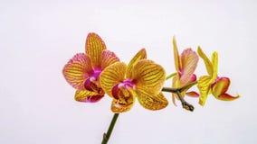 L'orchidée dissolvent leurs fleurs sur un fond blanc Laps de temps, 4k banque de vidéos