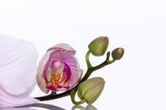 L'orchidée fleurit avec la réflexion sur un fond blanc Image stock