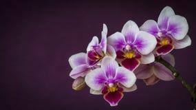 L'orchidée fleurit le plan rapproché Photo stock