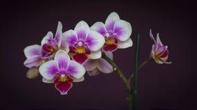 L'orchidée fleurit le plan rapproché Photo libre de droits