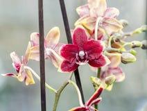 L'orchidée pourpre à la fenêtre, Orchidaceae, Phalaenopsis connu sous le nom d'orchidée de mite, a abrégé Phal photo stock