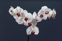 L'orchidée pulvérise, phalaenopsis, d'isolement sur un fond bleu Photographie stock