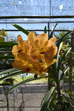 L'orchidée rare d'Asiatique d'espèces Photos libres de droits
