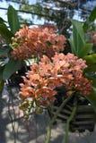 L'orchidée rare d'Asiatique d'espèces Photos stock