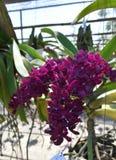 L'orchidée rare d'Asiatique d'espèces Images stock