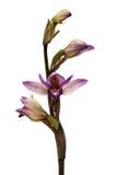 L'orchidée sauvage de Violet Limodore fleurit au-dessus du blanc - abortivum de Limodorum Photo libre de droits
