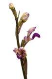 L'orchidée sauvage de Violet Limodore fleurit le profil au-dessus du blanc - abortivum de Limodorum Photos libres de droits