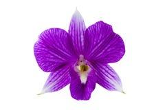 L'orchidée tropicale rose fleurit sur le fond blanc - jardin thaïlandais Images stock