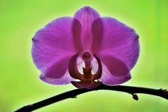 L'orchidea Fotografia Stock Libera da Diritti