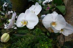 L'orchidea Fotografie Stock Libere da Diritti