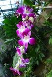 L'orchidea Immagine Stock Libera da Diritti