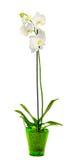 L'orchidea bianca del ramo fiorisce con le foglie verdi, l'orchidaceae, la phalaenopsis conosciuta come l'orchidea di lepidottero Fotografia Stock Libera da Diritti