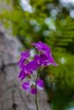 L'orchidea della Tailandia Immagini Stock Libere da Diritti