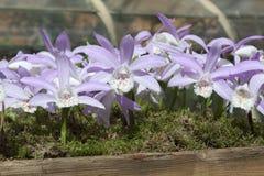 L'orchidea di Lila gradice i fiori in una piantatrice di legno Fotografia Stock Libera da Diritti