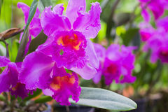 L'orchidea fiorisce la porpora Fotografia Stock
