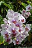 L'orchidea fiorisce nell'atrio della foresta pluviale al giardino dalla baia a Singapore Fotografia Stock