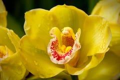 L'orchidea gialla (Orchidáceae) si chiude in su Fotografie Stock