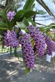 L'orchidea rara dell'asiatico di specie Immagine Stock Libera da Diritti