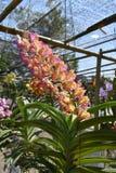 L'orchidea rara dell'asiatico di specie Immagine Stock